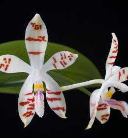 Anggrek Bulan Dewasa Phalaenopsis Zebrina