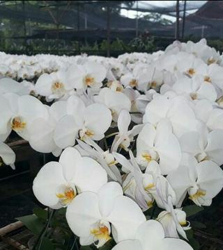 Anggrek Bulan Dewasa Putih Lidah Kuning Jual Anggrek Nugraha