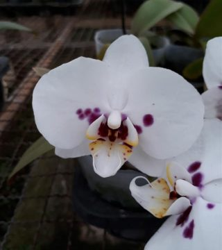 Anggrek Bulan Putih Totol Ungu Jual Anggrek Nugraha Orchid