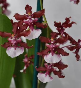 Anggrek-Oncidium-Sharry-Baby