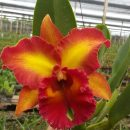 Cattleya Chomthong Fancy