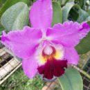 Cattleya Coretian
