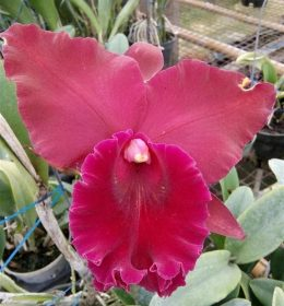 Cattleya Hey Song