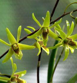 Dendrobium Larat Hijau