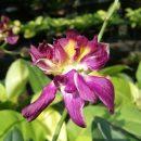 Dendrobium Mawar