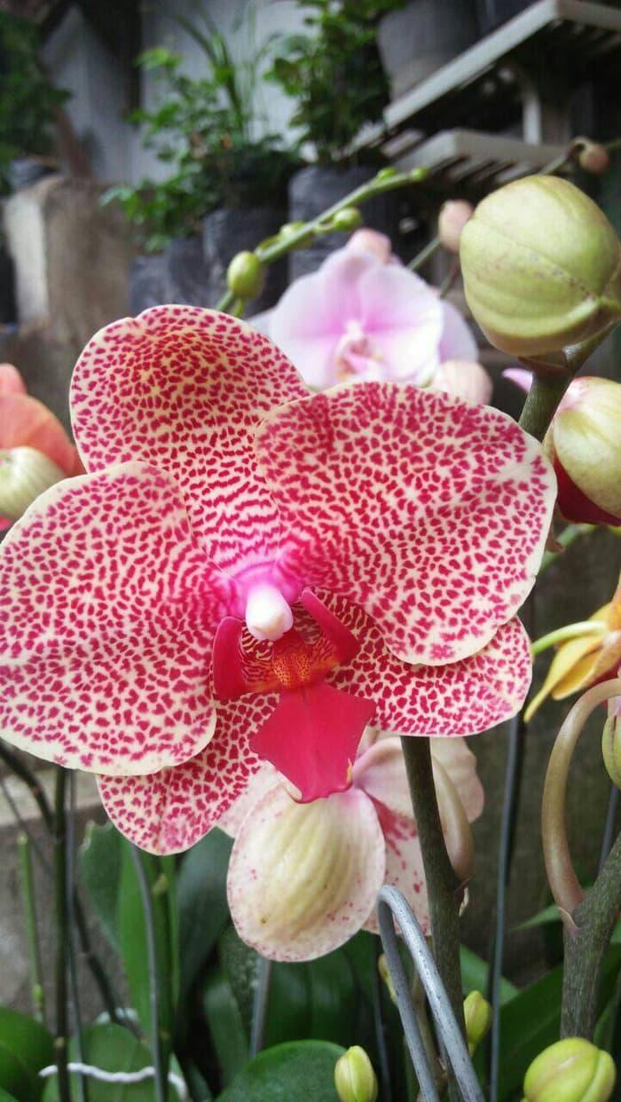 Jenis Jenis Bunga Anggrek Dan Gambarnya Jual Anggrek Nugraha Orchid