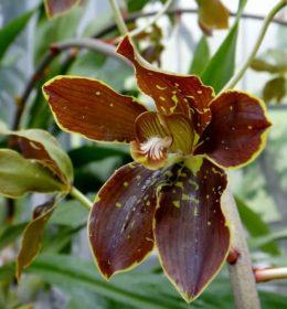 Anggrek Grammatophyllum Martae