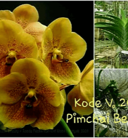 Vanda Pimchai Beauty