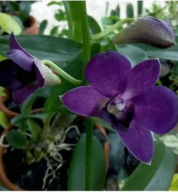 Dendrobium-Blue-Sakorn-X-Blue-charm-