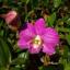 Anggrek Dendrobium New Burana Stripe