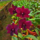 Dendrobium Black Cat