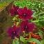Dendrobium Black Cat