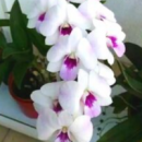 Dendrobium Chaopraya Sweet