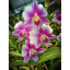 Dendrobium Sripathum Splash