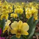 Anggrek Dendrobium Green Lentern