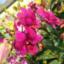 Anggrek Dendrobium Sakda Beauty