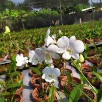 Dendrobium Savine White