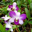 Dendrobium Aridang Light Blue