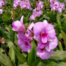 Dendrobium Love Pink Strip