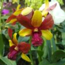 Dendrobium Thongchai Gold x Lasintera