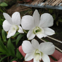 Dendrobium Burana White