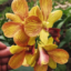 Anggrek Dendrobium Sripo 3 Lips